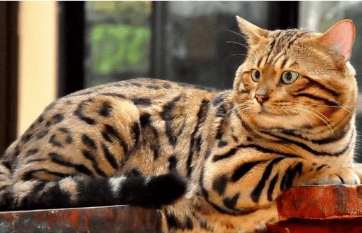 Alasan-kenapa-harga-Kucing-Bengal-capai-puluhan-juta